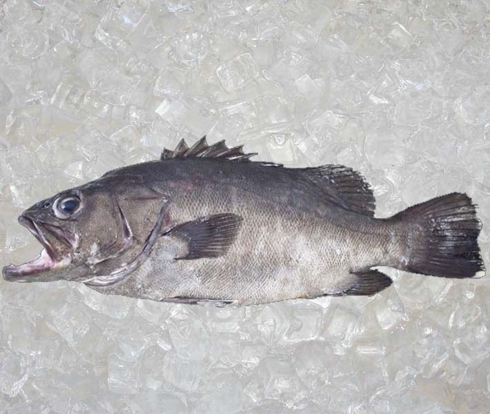 Bass Grouper FROM New Zealand